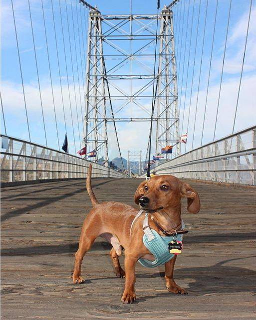 Bridge Dog at Royal Gorge